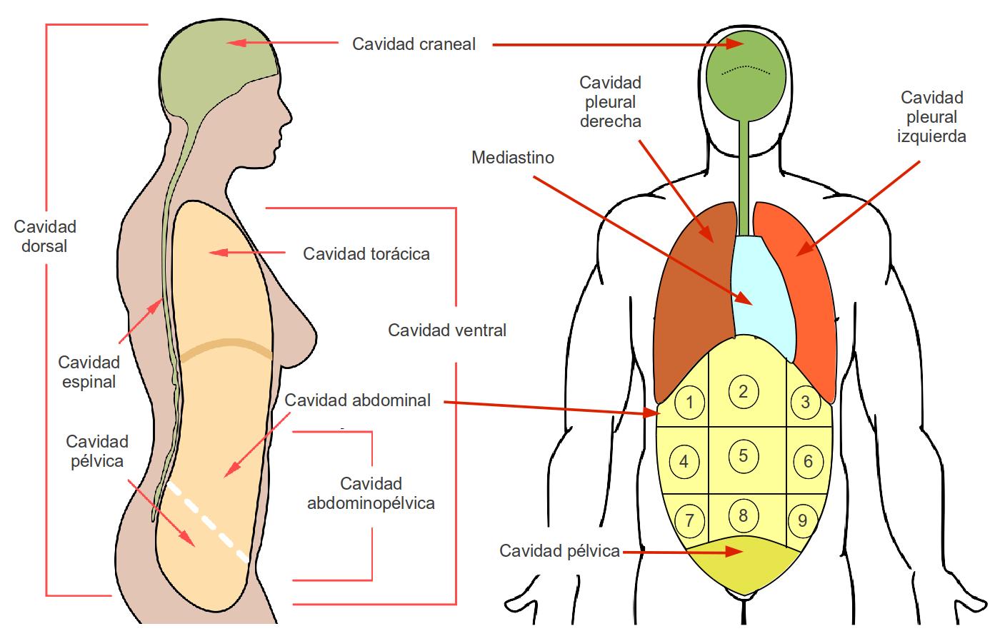 Famoso Diagrama Cavidad Corporal Friso - Anatomía de Las Imágenesdel ...
