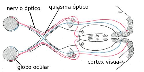 Anatomía del sistema nervioso y los órganos de los sentidos | Enseñando