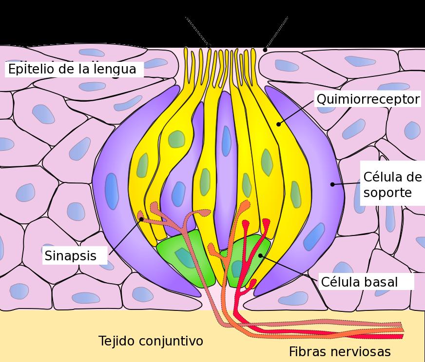 Quiasma optico