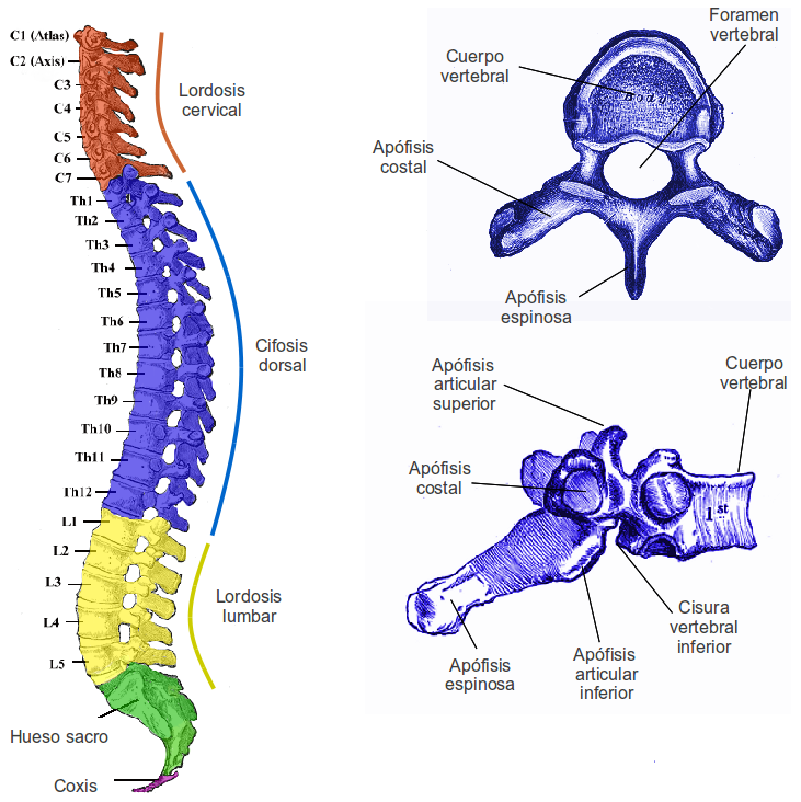 Anatomía del aparato locomotor | Enseñando