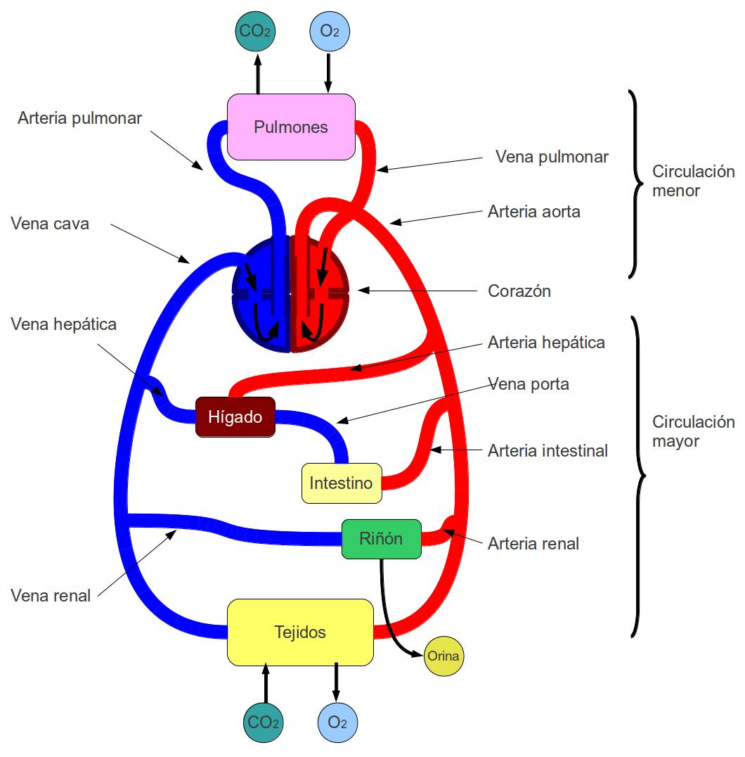 Perfecto Diagrama De Corazón Sistema Circulatorio Imágenes ...