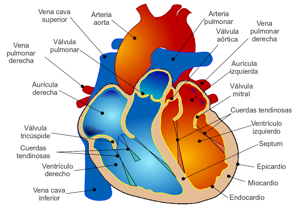 Magnífico Partes Del Diagrama De Corazón Adorno - Anatomía de Las ...