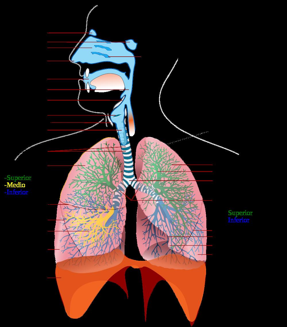 Anatomía del aparato respiratorio | Enseñando