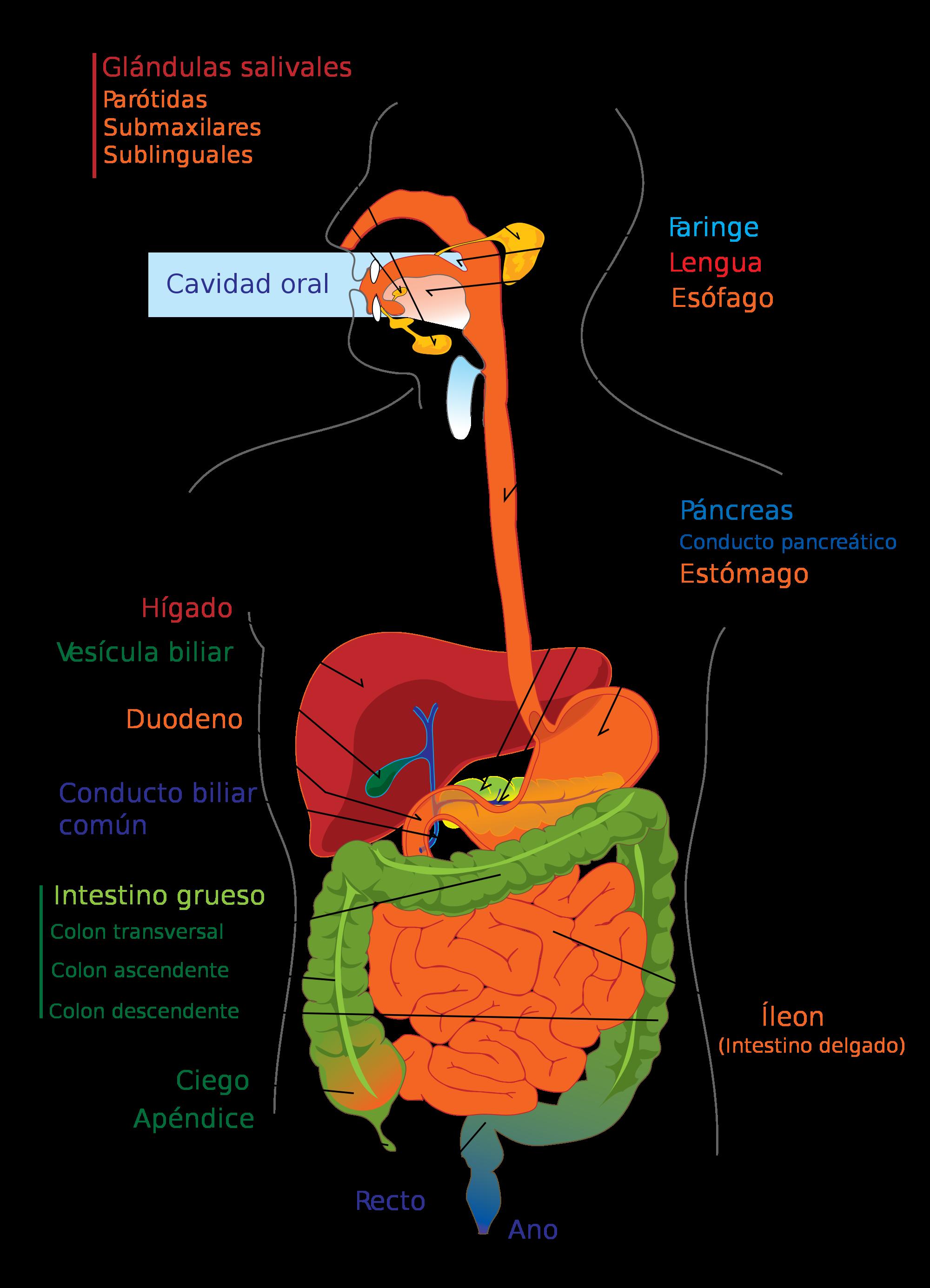 Anatomía del aparato digestivo | Enseñando